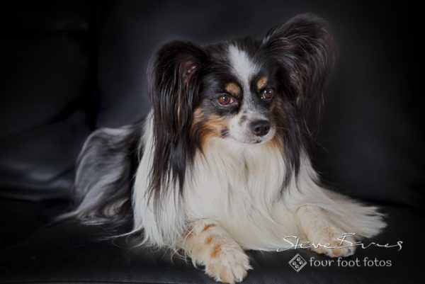 Papillon, papillon by Four Foot Fotos, Ballarat
