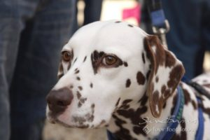 Dog portrait: A dalmatian portrait by Four Foot Fotos, Ballarat