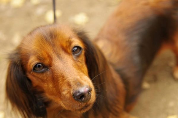 Dog portrait: A daschund portrait by Four Foot Fotos, Ballarat