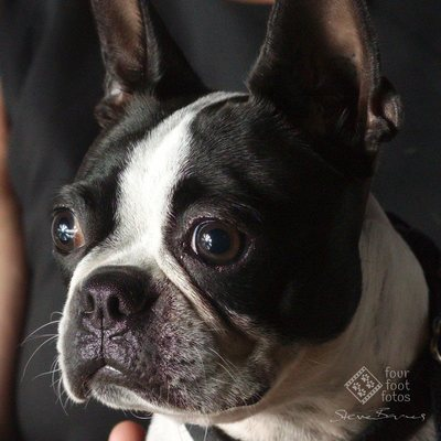 Frenchie Portrait by Steve Barnes of Four Foot Fotos pet photography, Ballarat, Australia