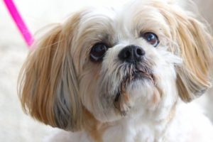 Shihtzu - by Four Foot Fotos, Ballarat