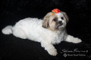 Tilly the ShihTzu, photographed on black velvet