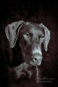 "Henry is ""Just Watchin' "" by Four Foot Fotos, Ballarat's premiere pet photographer"