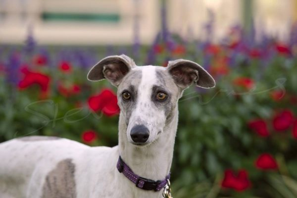Dog portrait: Nelly the Whippet, photographed by Four Foot Fotos, Ballarat