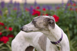 Nelly The Whippet, from Wendouree, Ballarat, Auatralia