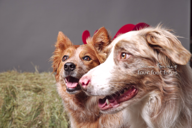 Four Foot Fotos - One usurrps another as Collies battle for the camera